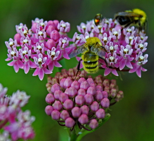 Swamp milkweed blossom with bees (photo by Kai Hagen)